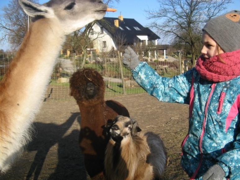 Lamy / owce karmienie :)