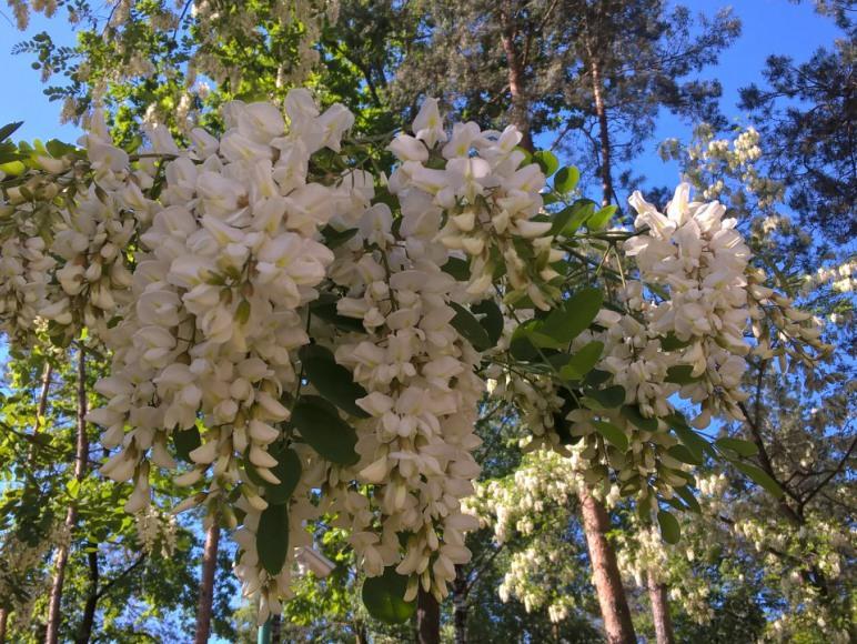 czerwiec-akacje, czeremchy