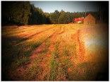 Żurawiniec pola i las