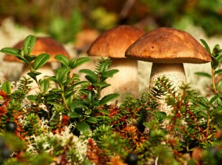 Offer; mushroom search - Borówka